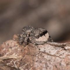 Maratus vespertilio (Bat-like peacock spider) at Melba, ACT - 29 Sep 2020 by kasiaaus