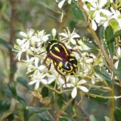 Eupoecila australasiae (Fiddler Beetle) at Tuggeranong Hill - 6 Jan 2018 by Owen