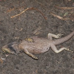 Pogona barbata (Eastern Bearded Dragon) at ANBG - 30 Sep 2020 by Tim L