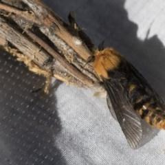 Metura elongatus (Saunders' case moth) at Higgins, ACT - 30 Sep 2020 by AlisonMilton