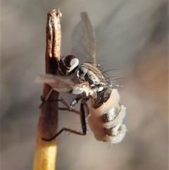 Entomophthora sp. (genus) (Puppeteer Fungus) at Aranda Bushland - 28 Sep 2020 by CathB