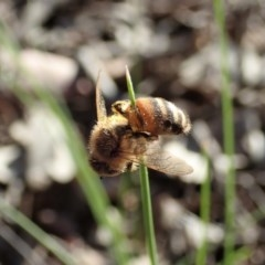 Apis mellifera (European honey bee) at Aranda Bushland - 28 Sep 2020 by CathB