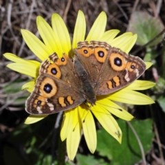 Junonia villida (Meadow Argus) at Dryandra St Woodland - 30 Sep 2020 by ConBoekel