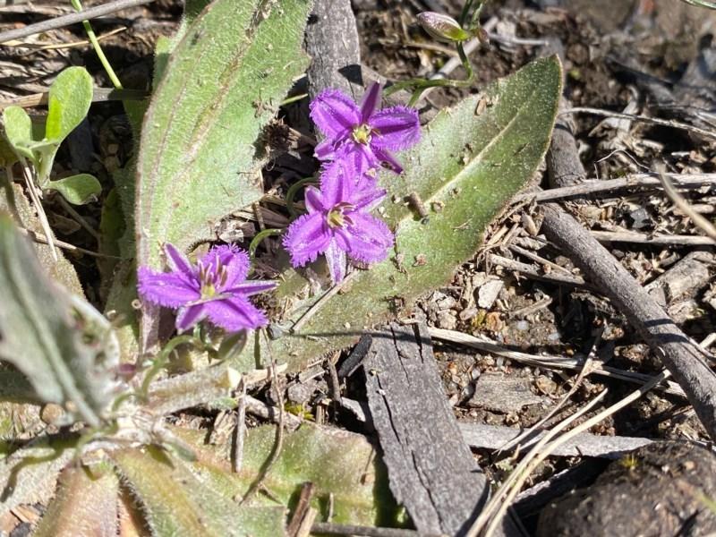 Thysanotus patersonii at Mount Taylor - 30 Sep 2020