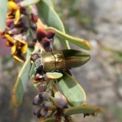 Melobasis propinqua (Propinqua jewel beetle) at Tuggeranong Hill - 18 Oct 2018 by Owen