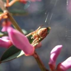 Araneinae (subfamily) (Orb weaver) at Aranda Bushland - 28 Sep 2020 by CathB