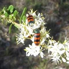 Castiarina crenata (Crenata jewel beetle) at Tuggeranong Hill - 5 Jan 2018 by Owen