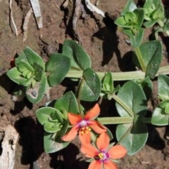 Lysimachia arvensis (Scarlet Pimpernel, Blue Pimpernel) at Dryandra St Woodland - 30 Sep 2020 by ConBoekel