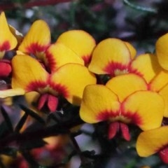 Dillwynia phylicoides (A Parrot-pea) at Dryandra St Woodland - 30 Sep 2020 by ConBoekel