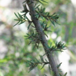 Dillwynia phylicoides at Dryandra St Woodland - 1 Oct 2020