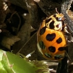 Harmonia conformis (Common Spotted Ladybird) at Hughes Grassy Woodland - 1 Oct 2020 by KL