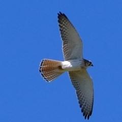 Falco cenchroides (Nankeen Kestrel) at Ginninderry Conservation Corridor - 1 Oct 2020 by Kurt
