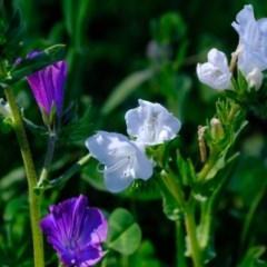 Echium plantagineum (Paterson's Curse) at Woodstock Nature Reserve - 1 Oct 2020 by Kurt