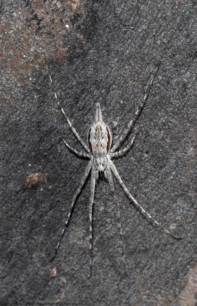 Tamopsis sp. (genus) at ANBG - 1 Oct 2020