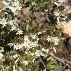 Brachyloma daphnoides (Daphne Heath) at Bruce, ACT - 30 Sep 2020 by goyenjudy
