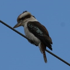 Dacelo novaeguineae (Laughing Kookaburra) at Wodonga - 1 Oct 2020 by Kyliegw