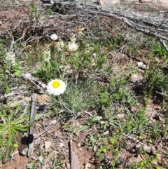 Leucochrysum albicans subsp. tricolor (Hoary Sunray) at Googong Foreshore - 1 Oct 2020 by samreid007