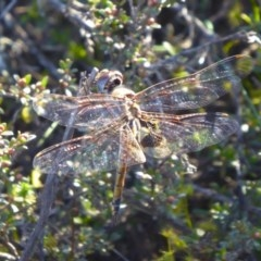 Tramea loewii (Common Glider) at Rugosa at Yass River - 1 Oct 2020 by SenexRugosus