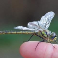 Hemicordulia tau (Tau Emerald) at - 15 Sep 2020 by WingsToWander