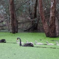 Cygnus atratus (Black Swan) at Wonga Wetlands - 8 Sep 2020 by WingsToWander
