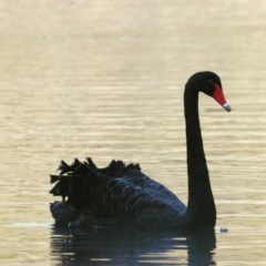 Cygnus atratus (Black Swan) at Wonga Wetlands - 15 Sep 2020 by WingsToWander