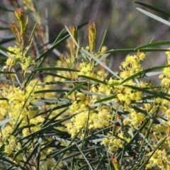 Acacia boormanii (Snowy River Wattle) at Dryandra St Woodland - 30 Sep 2020 by ConBoekel