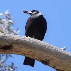 Gymnorhina tibicen (Australian Magpie) at Deakin, ACT - 1 Oct 2020 by JackyF