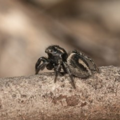 Salpesia sp. (genus) (Salpesia Jumping Spider) at Dryandra St Woodland - 28 Sep 2020 by kasiaaus