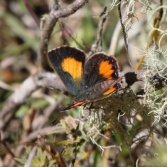 Paralucia aurifer (Bright Copper) at Mongarlowe River - 1 Oct 2020 by LisaH