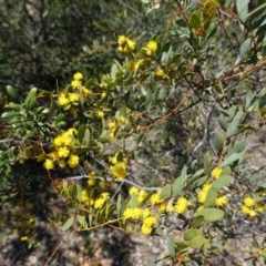 Acacia buxifolia subsp. buxifolia (Box-leaf Wattle) at Red Hill, ACT - 21 Sep 2020 by JackyF