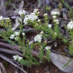 Asperula conferta (Common Woodruff) at Federal Golf Course - 22 Sep 2020 by JackyF