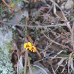 Bossiaea buxifolia (Bush Pea) at Mongarlowe River - 1 Oct 2020 by LisaH