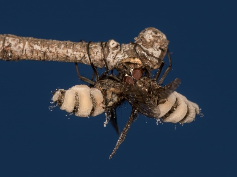 Entomophthora sp. (genus) at Melba, ACT - 29 Sep 2020