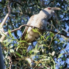 Scythrops novaehollandiae (Channel-billed Cuckoo) at Mongarlowe River - 1 Oct 2020 by LisaH