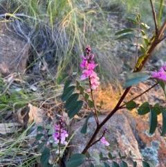 Indigofera australis subsp. australis (Australian Indigo) at Mount Taylor - 30 Sep 2020 by Jenjen