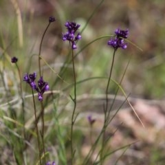 Linaria pelisseriana (Pelisser's Toadflax) at Mount Painter - 1 Oct 2020 by Tammy