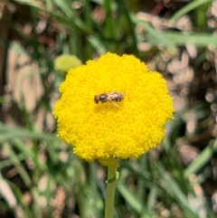 Lasioglossum (Chilalictus) sp. (genus & subgenus) (Halictid bee) at Flea Bog Flat, Bruce - 1 Oct 2020 by JVR
