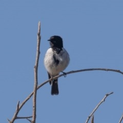 Melanodryas cucullata (Hooded Robin) at Lower Cotter Catchment - 1 Oct 2020 by rawshorty