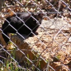 Felis catus (Feral Cat) at Fyshwick, ACT - 10 Sep 2020 by MichaelMulvaney