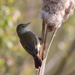 Acrocephalus australis (Australian Reed-Warbler) at Belvoir Park - 1 Oct 2020 by Kyliegw