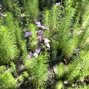 Stylidium laricifolium at Bugong National Park - 27 Sep 2020