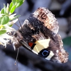 Vanessa itea (Yellow Admiral) at Aranda Bushland - 2 Oct 2020 by Kurt