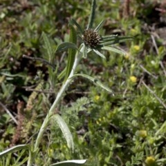 Euchiton involucratus (Star Cudweed) at Paddys River, ACT - 2 Oct 2020 by JudithRoach