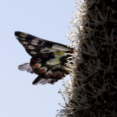 Delias aganippe (Spotted Jezebel) at Bullen Range - 2 Oct 2020 by JudithRoach