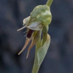 Oligochaetochilus aciculiformis (Needle-point rustyhood) at Bullen Range - 2 Oct 2020 by JudithRoach