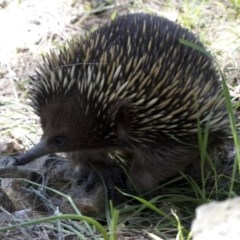 Tachyglossus aculeatus (Short-beaked Echidna) at Cotter Reserve - 2 Oct 2020 by Judith Roach