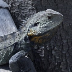 Intellagama lesueurii howittii (Gippsland Water Dragon) at Paddys River, ACT - 2 Oct 2020 by JudithRoach