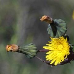 Sonchus oleraceus (Common Sowthistle) at Dryandra St Woodland - 30 Sep 2020 by ConBoekel