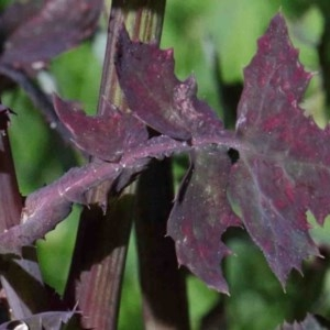 Sonchus oleraceus at Dryandra St Woodland - 1 Oct 2020