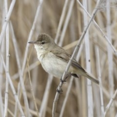 Acrocephalus australis (Australian Reed-Warbler) at City Renewal Authority Area - 30 Sep 2020 by Alison Milton